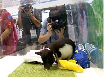 Trung Quốc: Biến đổi gen, tạo ra lợn tí hon làm thú cưng